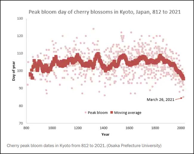 Peak bloom day of cherry blossoms, Kyoto, Japan